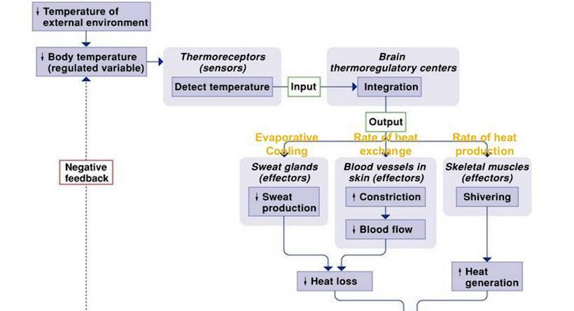 Biegania bez koszulki - termoregulacja